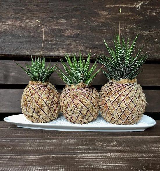 consejos para decorar con la plantacebra