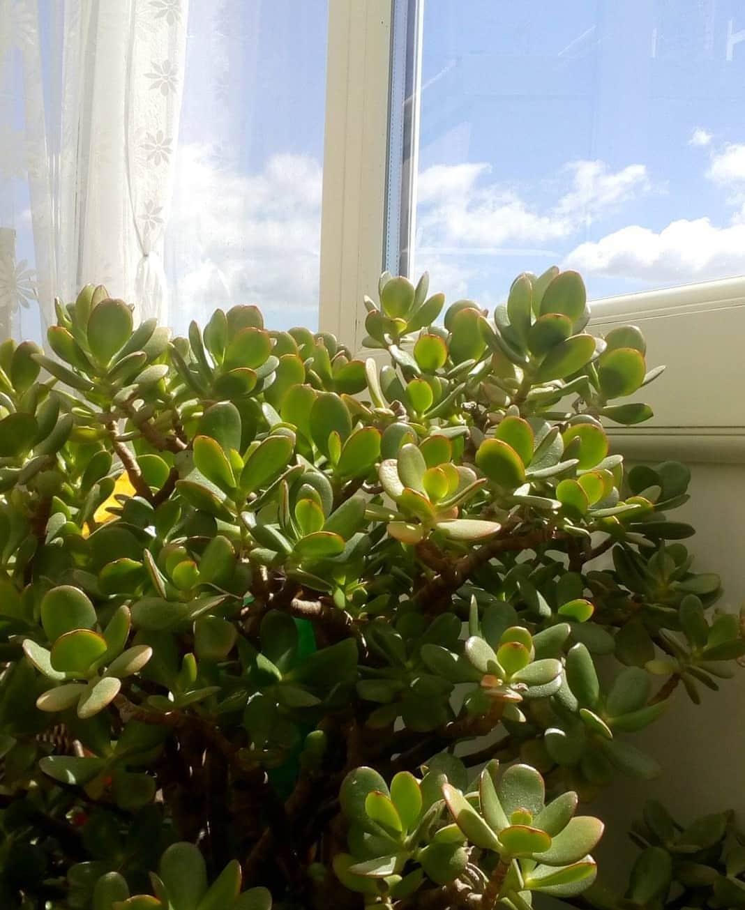 C mo cuidar de la planta jade en interiores succulent avenue for Plantas crasas interior