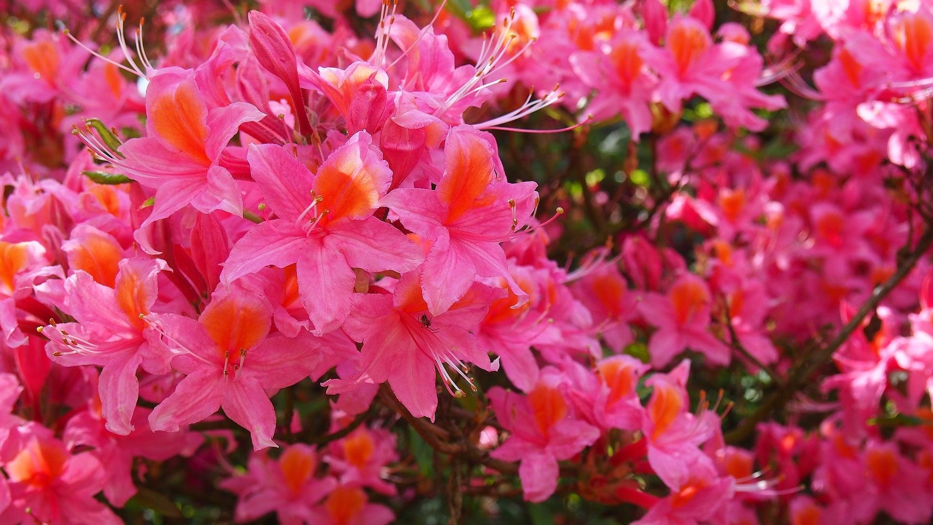 Planta azalea cuidados excellent plantas de interior pequeas with planta azalea cuidados good - Cuidado de azaleas en interior ...