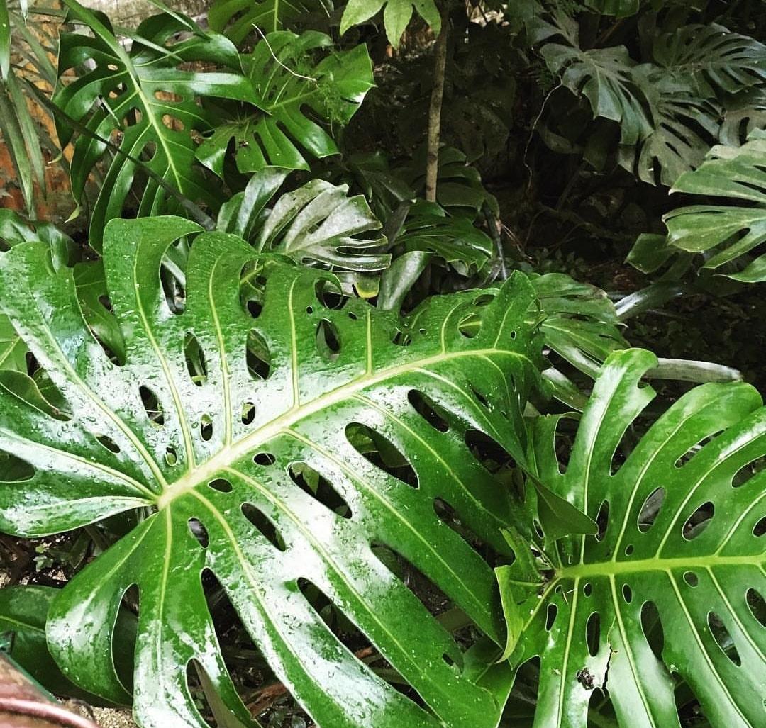 Filodendro cultivo y variedades succulent avenue for Planta filodendro
