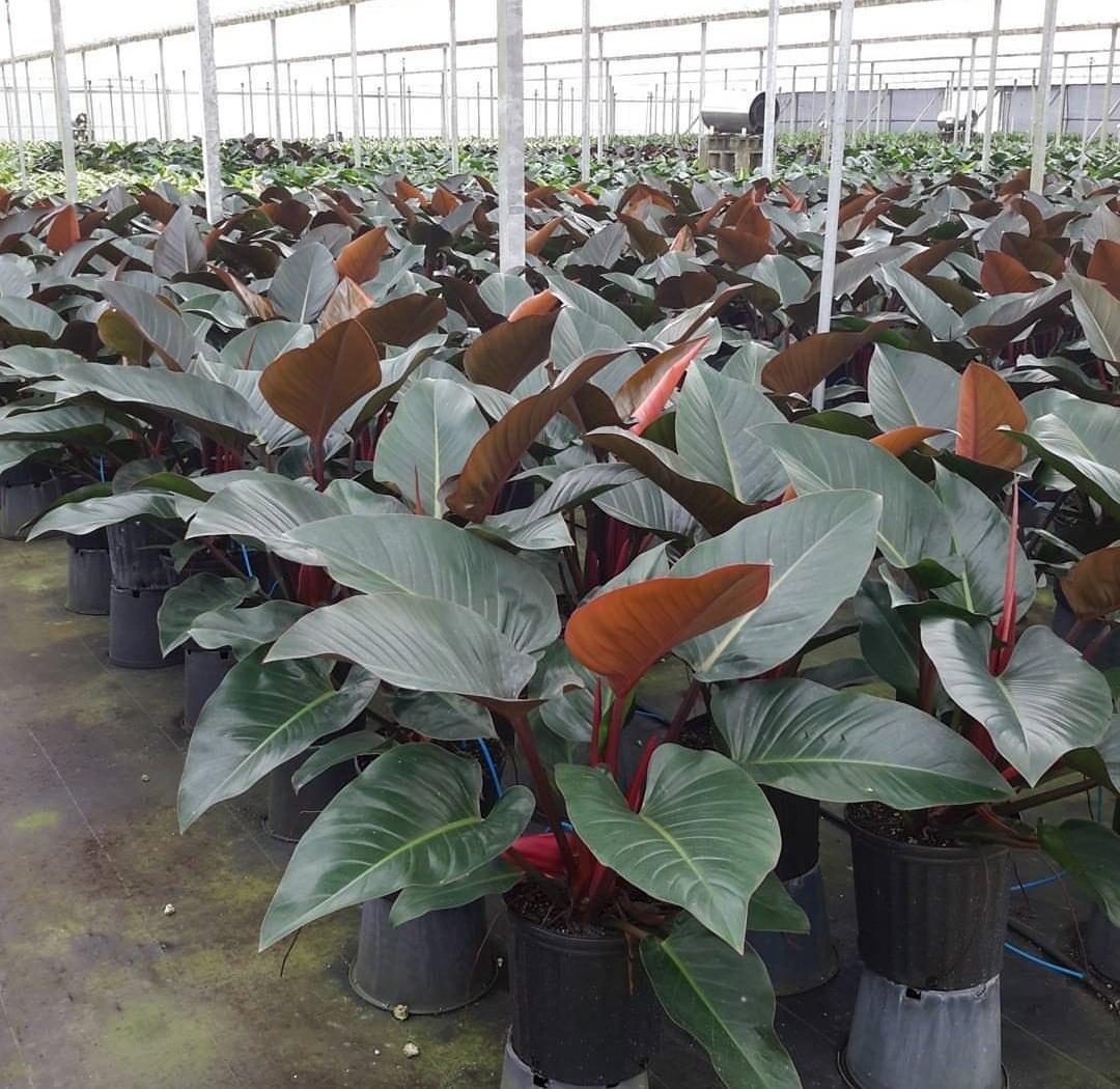 Congo rojo usos en el jard n y cuidados succulent avenue for Arbol rojo jardin