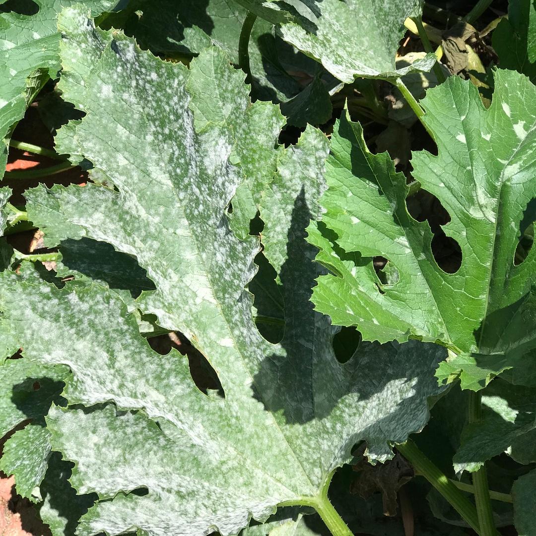 hortensias enfermedades 10 Remedios Caseros Contra El Odio Y Otros Hongos