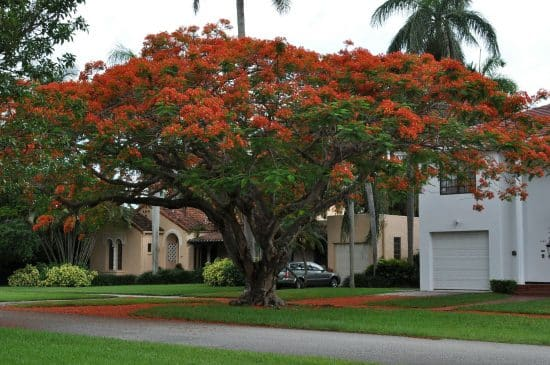 Flamboyán - Cultivo, cuidados y propagación