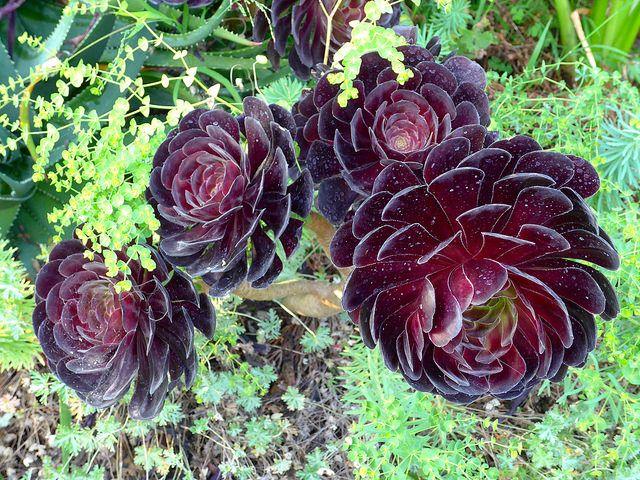Suculenta rosa negra - Cultivo y cuidados