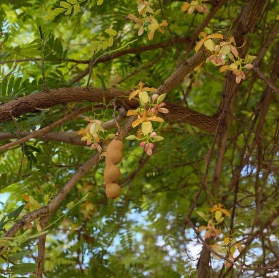 Flor de árbol de tamarindo
