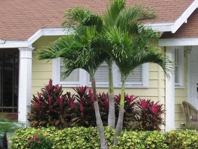 Palma Manila La Palmera Ideal Para Jardines Peque 241 Os