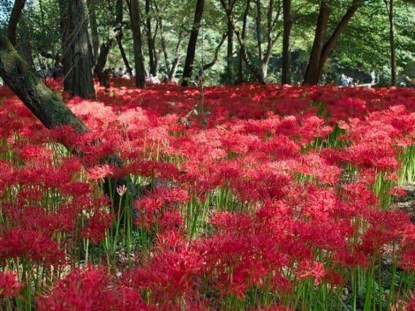 Lirio araña rojo - Cultivo y cuidados
