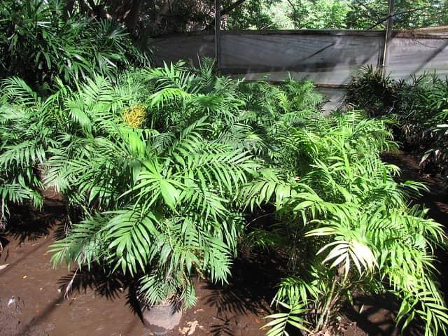 Las mejores palmas para jardines pequeños